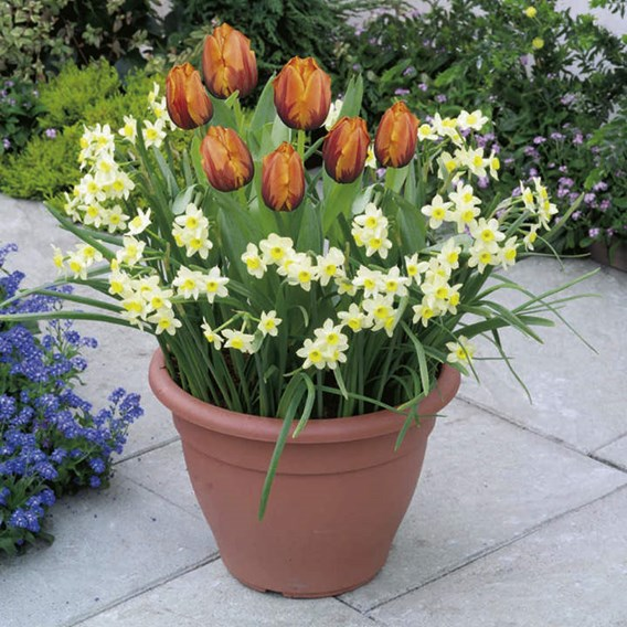 Plant-O-Tray Patio Preplanted Bulbs - Tulip/Narcissus