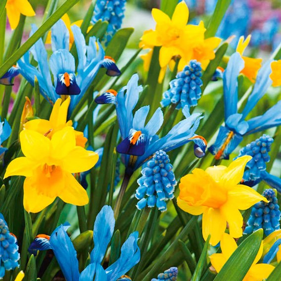 Spring Symphony Bulbs - Mix