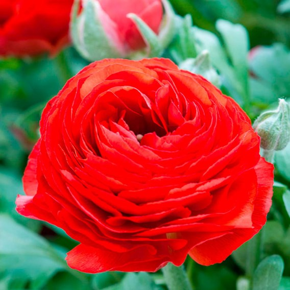 Ranunculus  Red 10