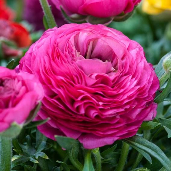 Ranunculus  Pink 10