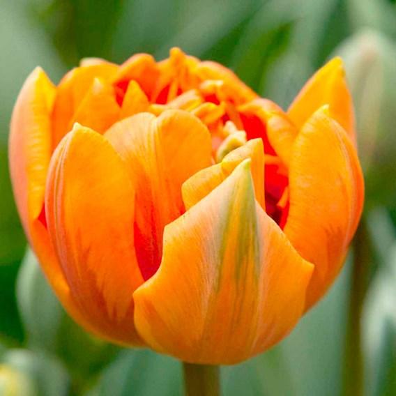 Tulip Orange Princess (Double)