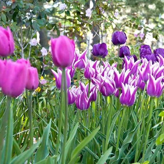 Tulip Bulbs - Purple Passion