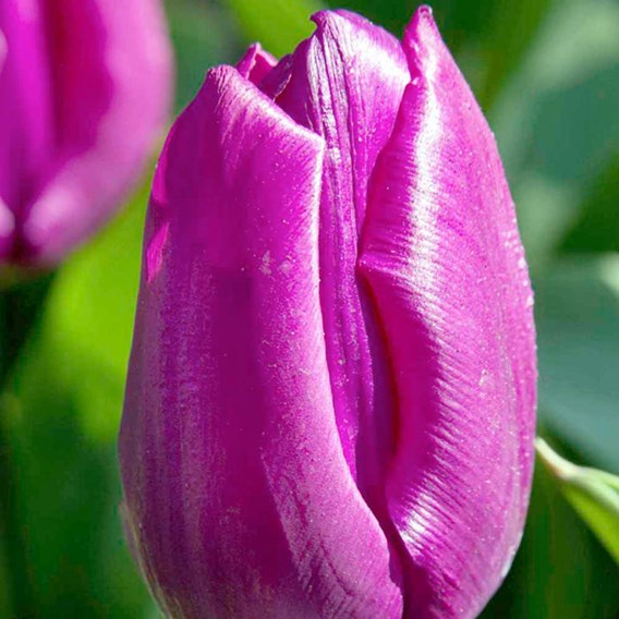 Tulip Bulbs - Purple Prince