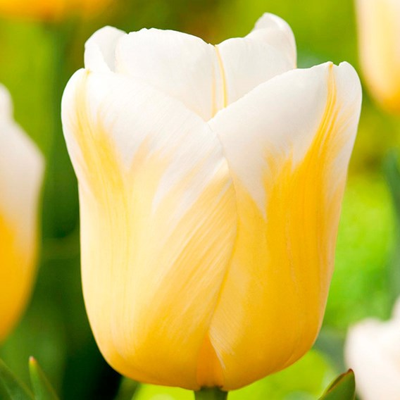 Tulip Bulbs - Calgary Flame