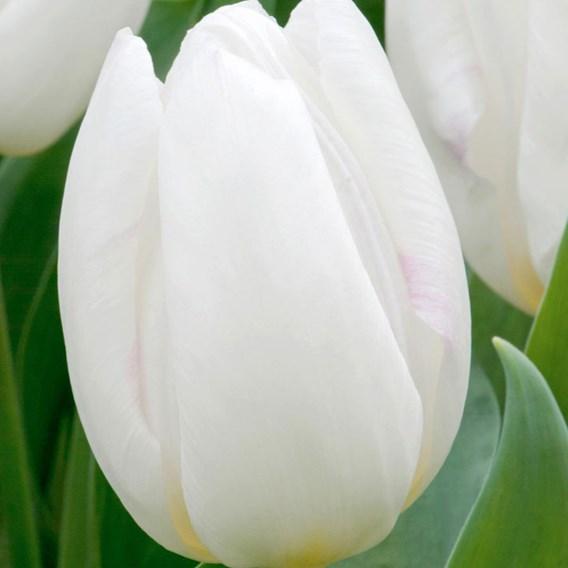 Tulip Single Early White Prince (10)
