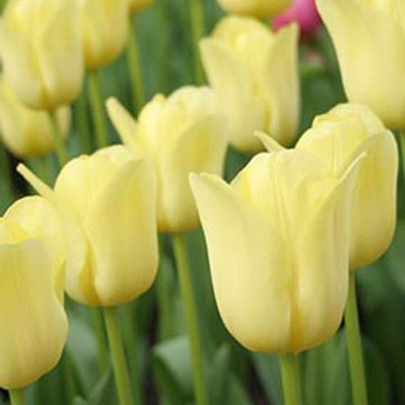 Tulip Mid World Friendship (10)