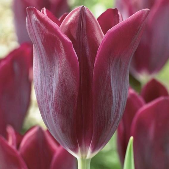 Tulip Early  Havran (10)