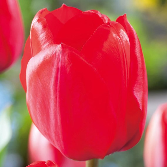 Tulip Darwin Hybrid Red Impression