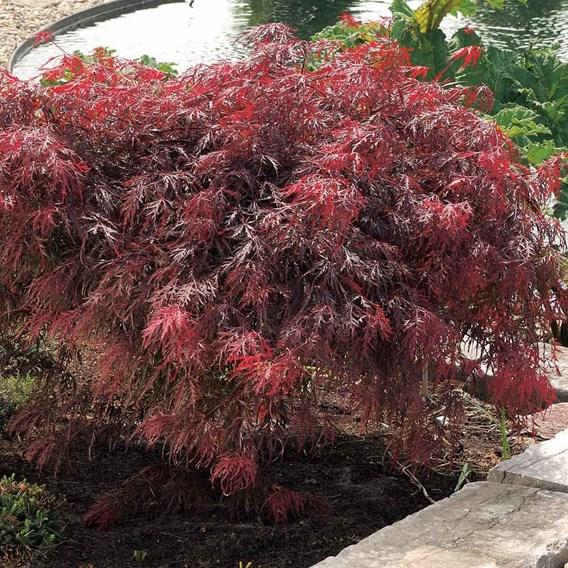 Acer palmatum Plant - Garnet