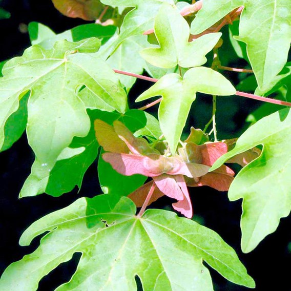 Acer Campestre (Field Maple) Plant