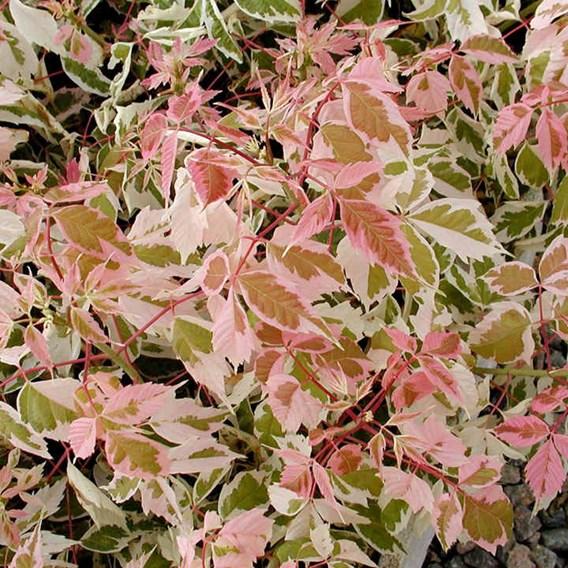Acer negundo Plant - Flamingo