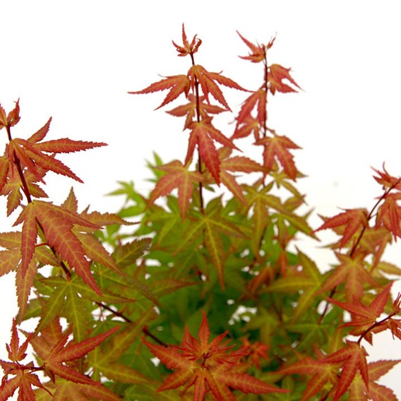 Acer Palmatum Redwine