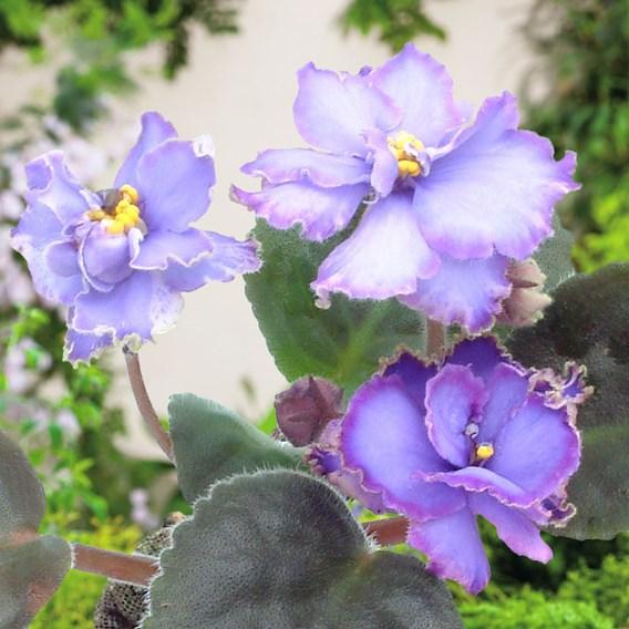 Saintpaulia Plant - Blue Dragon