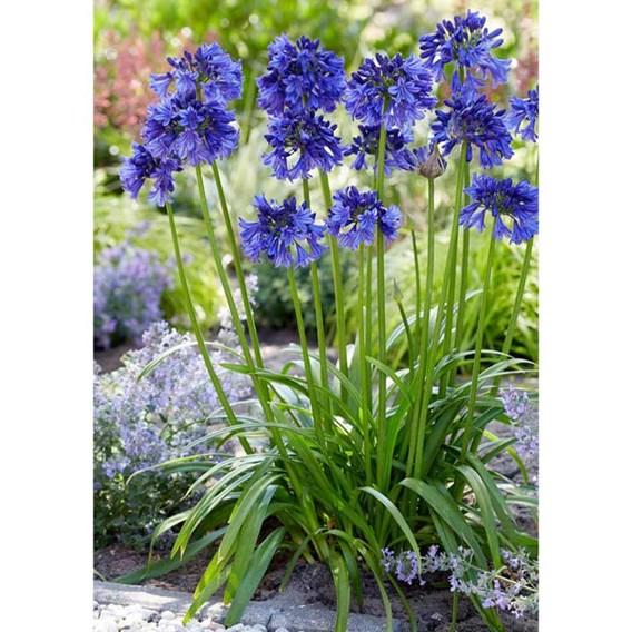 Agapanthus Plant - Blue Thunder