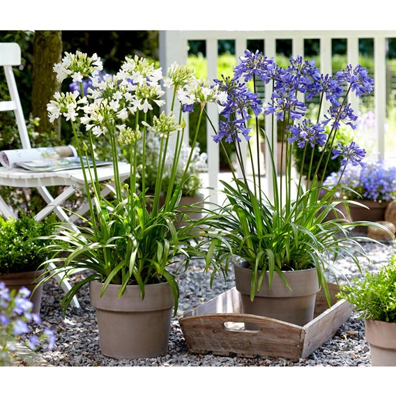 Agapanthus Plants - Blue and White Collection