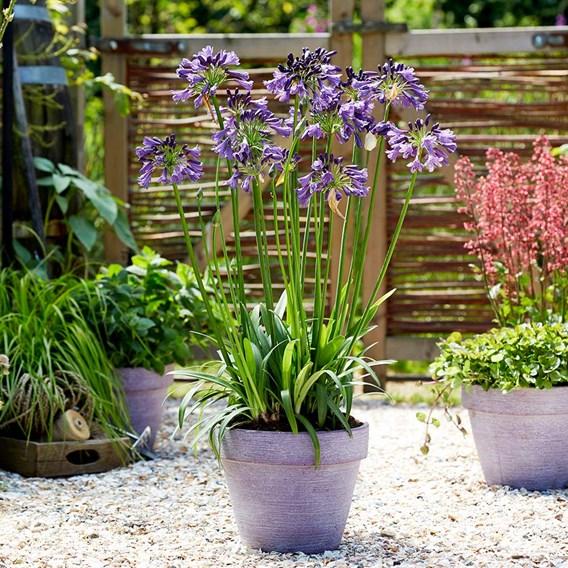 Agapanthus Plant - Poppin Purple