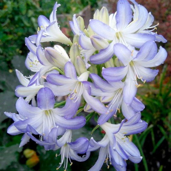 Agapanthus Plants Sea Breeze