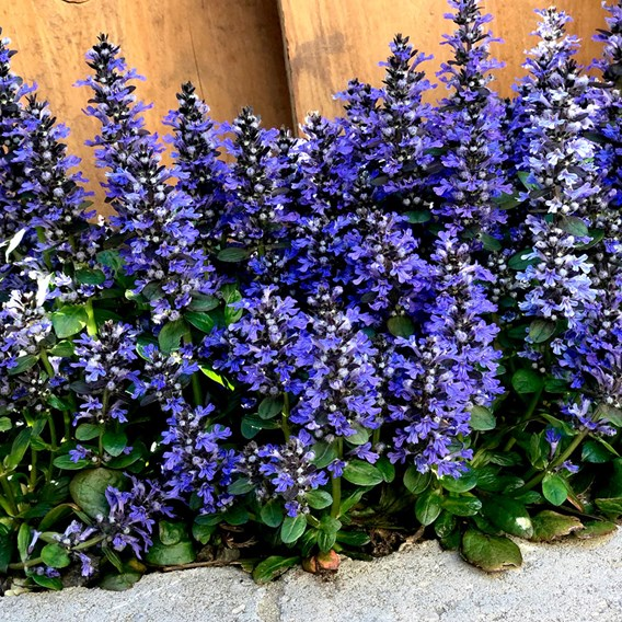 Ajuga rep. Blueberry Muffin (3)