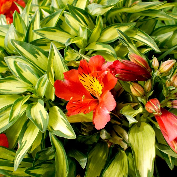 Alstroemeria Little Miss Zoe
