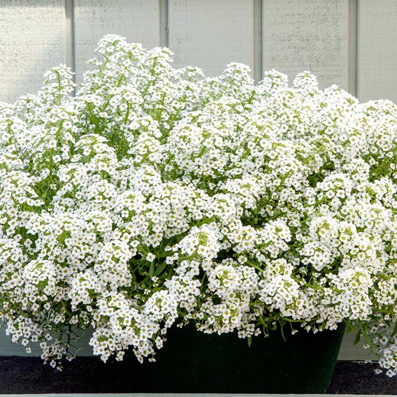 Alyssum Plants - North Face