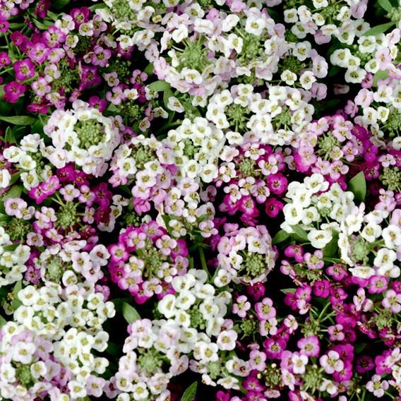 Alyssum Plants - Clear Crystal Mixed