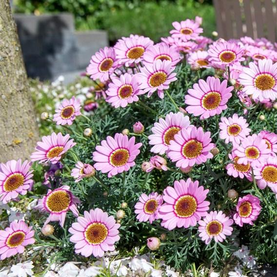 Argyranthemum Plant - Grandaisy Pink