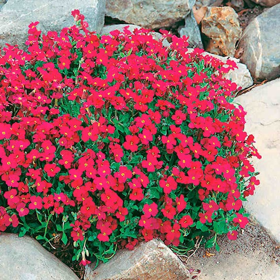Aubrieta Seeds - Cascade Red