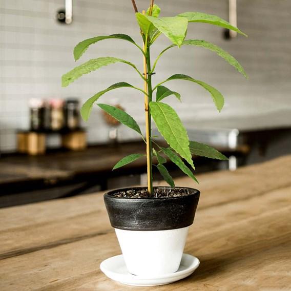 Avocado Plant - 2LTR