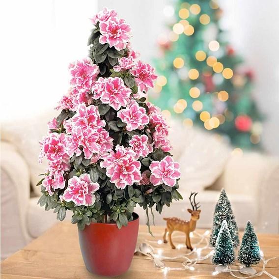 Azalea Tree Bi-Colour