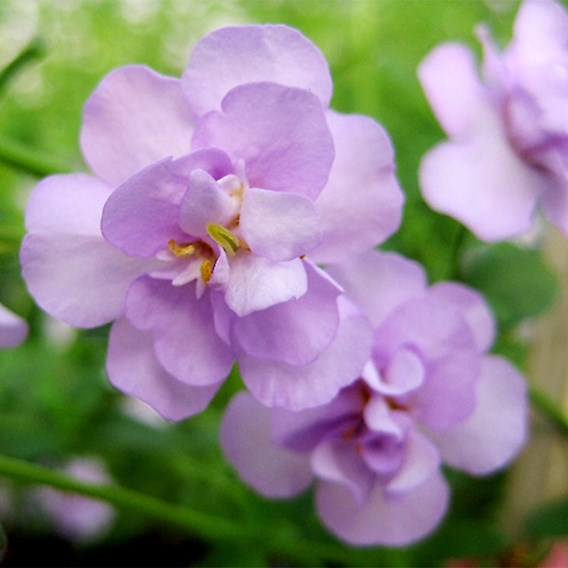 Bacopa Secrets Double Lavender (6)