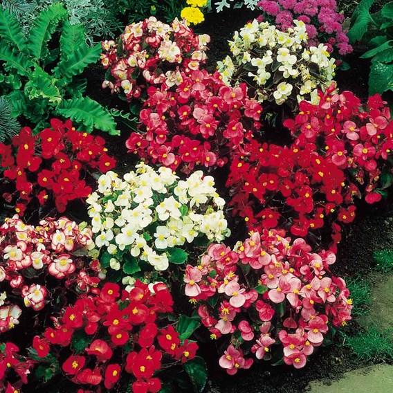 Begonia Supaseeds - F1 Devon Gems Mix