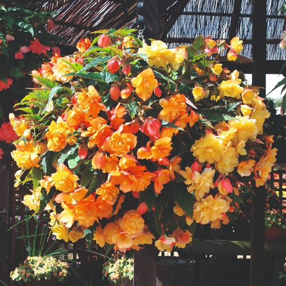 Begonia Illumination Apricot Shades (10)