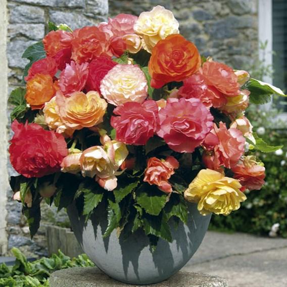 Begonia Parisienne Upright(P9x3)