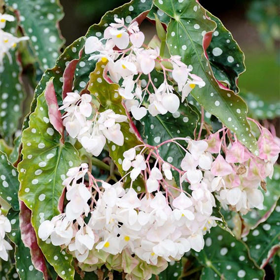 Begonia Plant - Maculata Wightii