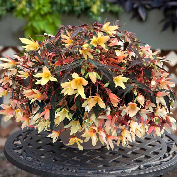 Begonia Bossa Nova Pure Yellow (15)