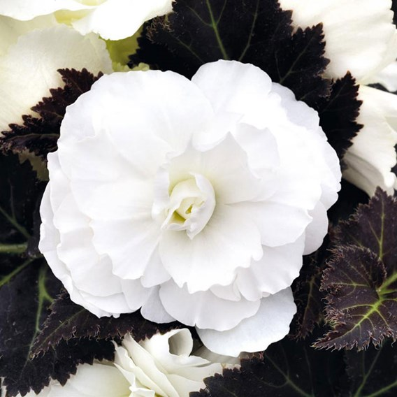 Begonia Nonstop Mocca White (15)