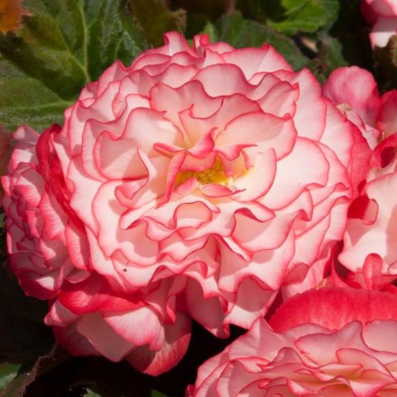 Begonia Nonstop Rose Petticoat (10)