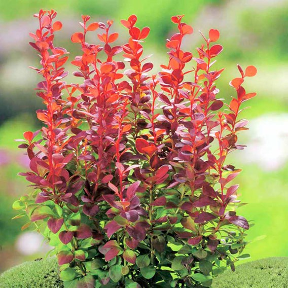 Berberis thunb. 'Orange Rocket'®