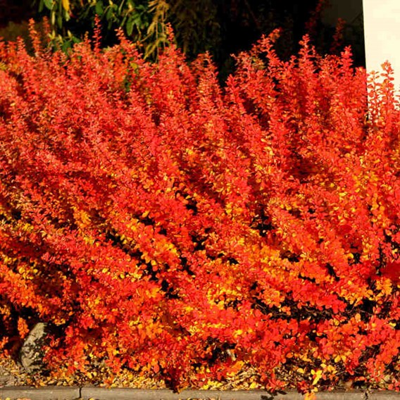 Berberis thunb. 'Maria'®