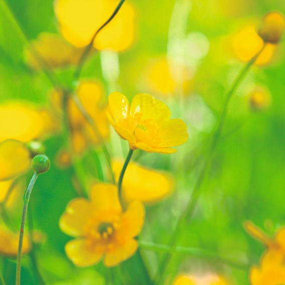 Pollinators and Predators seeds - Predators Mix