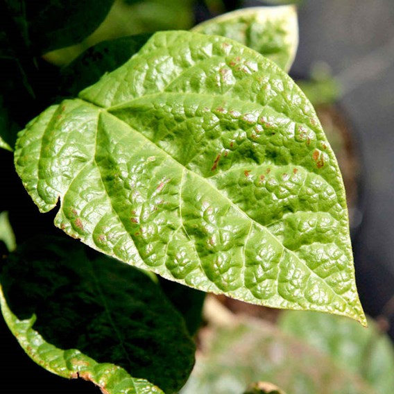 Calycanthus floridus Plant