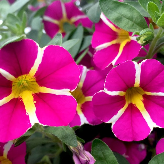 Calibrachoa Plants - Rave