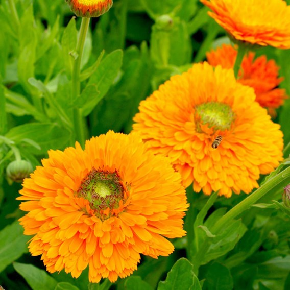 Calendula Seeds - Dandy