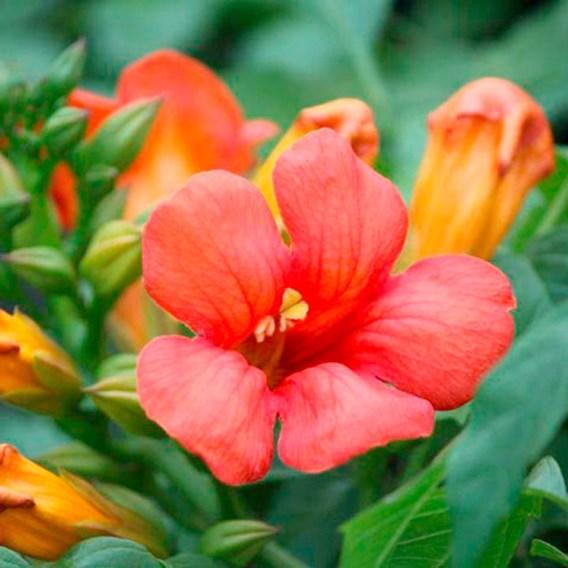 Campis tagliabuana Plant - Jazz Fire