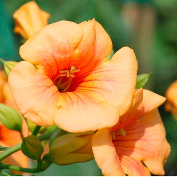 Campsis t. 'Indian Summer'®