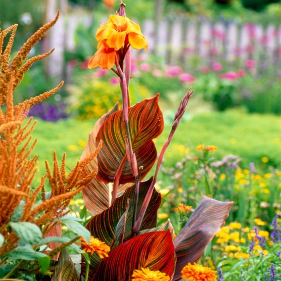 Canna Potted Plant - Tropicanna