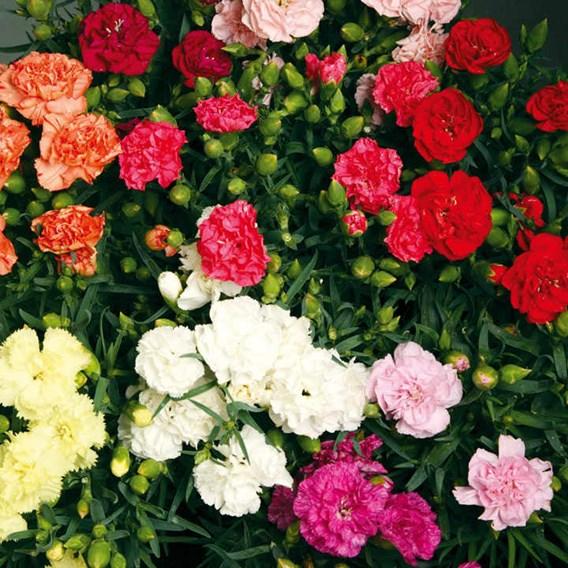 Carnation Lillipot (15)