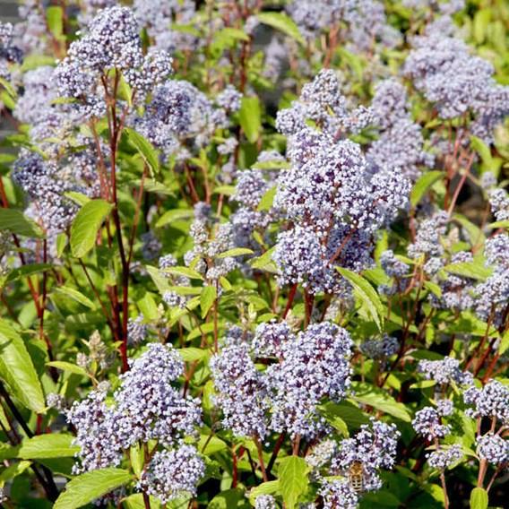 Ceanothus pallidus 'Marie Bleu'®