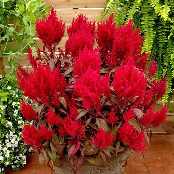Ceolosia Plants - Dragon's Breath