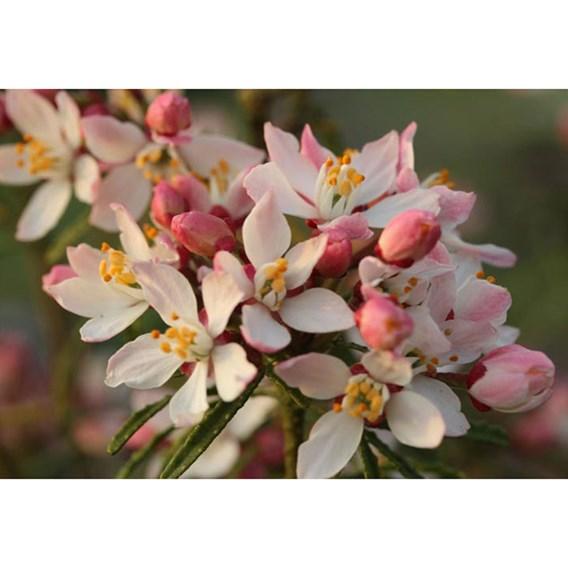 Choisya ternata Apple Blossom'®